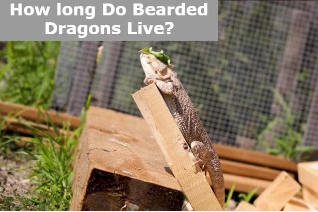 How long Do Bearded Dragons Live_