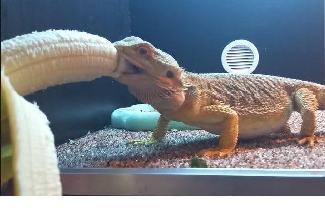Can Bearded Dragons Eat Bananas