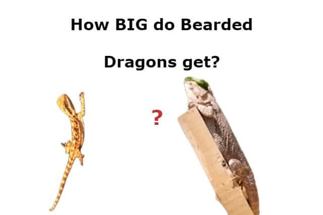 How BIG do Bearded Dragons get